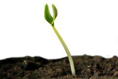 Sprout verde. Fotos de Stock