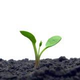 Sprout verde. Fotografia de Stock