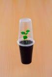 Sprout verde pequeno sob o copo plástico Foto de Stock Royalty Free