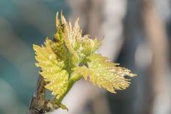 Sprout of Vitis vinifera, grape vine Stock Photo