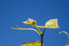 Sprout of Vitis vinifera, grape vine Stock Image