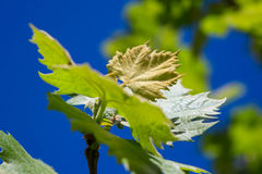 Sprout of Vitis vinifera, grape vine Stock Photography