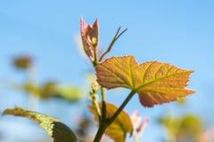 Sprout of Vitis vinifera, grape vine, Georgia.  Royalty Free Stock Photos