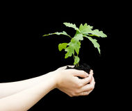 Sprout a young oak tree in a female hands. Stock Photos