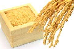 Sprouted brown rice and ear of rice Royalty Free Stock Photos