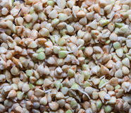 Sprouted Buckwheat Grains. Stock Image