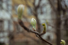 Sprouted buds of linden Stock Photos