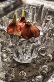 Sprouted bulbs plants Royalty Free Stock Photo