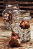 Sprouted bulbs plants Stock Photos