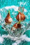 Sprouted bulbs plants Royalty Free Stock Images