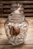 Sprouted bulbs tulips in glass container Royalty Free Stock Photo