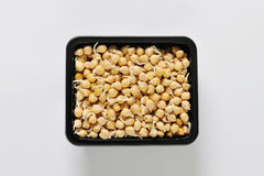 Sprouted chickpeas Royalty Free Stock Image