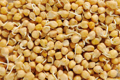 Sprouted chickpeas stock image