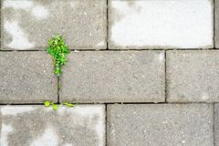 Sprouted through a concrete slab plant. stock images