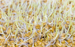 The sprouted grains of wheat. Stock Photo