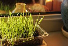 Sprouted grass. In the box on the window Stock Images