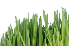 Sprouted green grass Stock Images