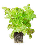 Sprouted green lettuce with the roots in the ground Royalty Free Stock Image