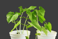 Sprouted growing small beans plant sprouts in glass Royalty Free Stock Photo