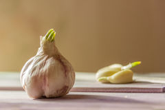 Sprouted head garlic and lobules on wooden gray table beige bac. Kground stock images
