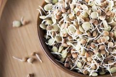 Sprouted Lentils Stock Images