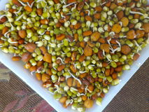 Sprouted Lentils and black chickpeas. Close up of colorful sprouted lentils inside a paper plate Stock Photo