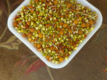 Sprouted Lentils. Close up of colorful sprouted lentils inside a paper plate Royalty Free Stock Images