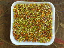 Sprouted Lentils. Colorful sprouted lentils inside a paper plate Stock Photography