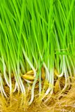 Sprouted oat grains. With grass and roots Stock Photos