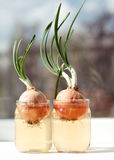 Sprouted onion in jar water, on window sill, against background of blurred houses Royalty Free Stock Photography