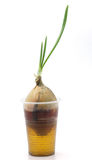 Sprouted onion in a plastic cup. Stock Photos
