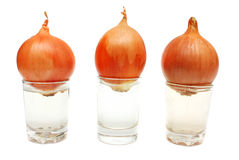 Sprouted onion in a plastic cup. Isolated. Royalty Free Stock Photo