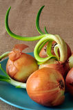 Sprouted Onions Stock Images