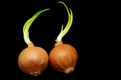 Sprouted onions. Couple of onions with sprout in black background with copy space Royalty Free Stock Image
