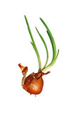 Sprouted onions bulb isolated Royalty Free Stock Photo