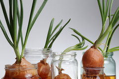 Sprouted onions. Gray background Royalty Free Stock Photography
