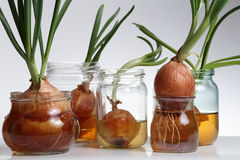 Sprouted onions. Grey background Royalty Free Stock Images