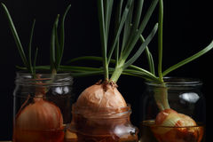 Sprouted onions isolated on black background Royalty Free Stock Photography