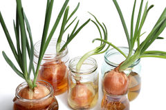 Sprouted onions. White background Stock Photos