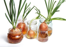 Sprouted onions. White background Royalty Free Stock Photos