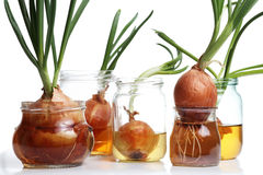 Sprouted onions. White background Stock Photo