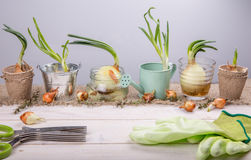 Sprouted onions on a white wooden table with garden tools. Stock Image