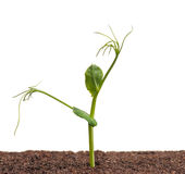 Sprouted pea Royalty Free Stock Photos