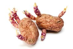 The sprouted potato Stock Photography