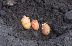 Sprouted potatoes on the land, agrarian background. Potato on the ground, planting sprouted tubers spring, agrarian background Royalty Free Stock Image