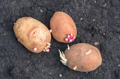 Sprouted potatoes on the land, agrarian background. Potato on the ground, planting sprouted tubers spring, agrarian background Royalty Free Stock Photos