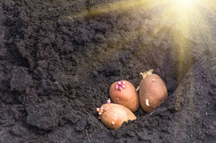 Sprouted potatoes on the land, agrarian background Stock Photography
