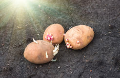 Sprouted potatoes on the land, agrarian background. Potato on the ground, planting sprouted tubers spring, agrarian background Royalty Free Stock Photography