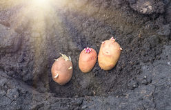 Sprouted potatoes on the land, agrarian background. Potato on the ground, planting sprouted tubers spring, agrarian background Stock Photo