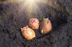 Sprouted potatoes on the land, agrarian background Royalty Free Stock Photos